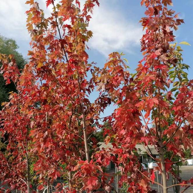 Acer Red Sunset