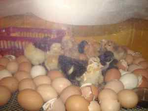 Newly hatching chicks