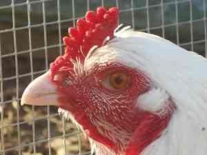 Ixworth Cockerels head picture