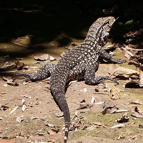 Argentine - Iguazu / Iguane
