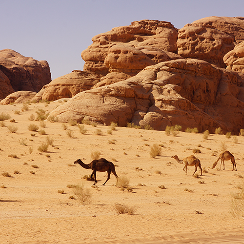 Wadi Rum - Dromadaires