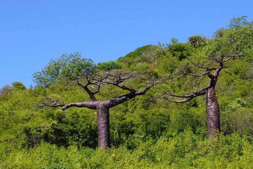 Madagascar (Diego Suarez) - Baobab Suarezensis
