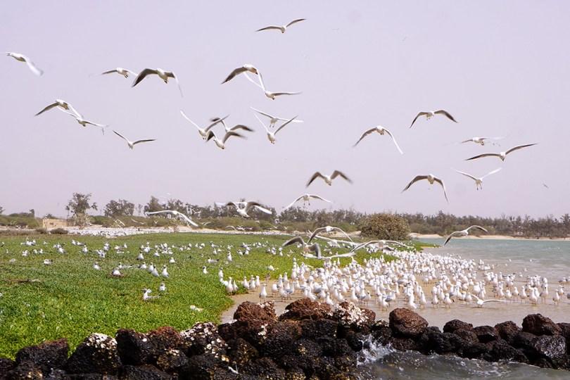 Saint-Louis du Sénégal - île aux oiseaux