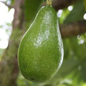 Avocados agriculture tourism