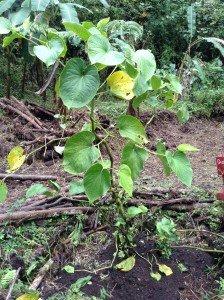 Hawaiian Jungle plant