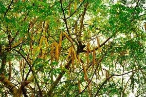 Agricultural Tourism Moringa Tree