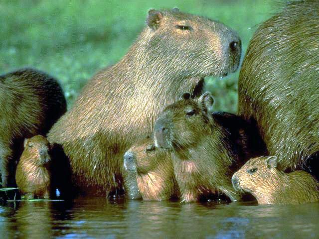 Most wanted pet no#2: Capybara (2/2)