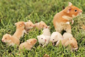 Hamsters-and-her-babies