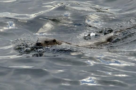 Otter in seinem Element - Foto: Georg Rekers
