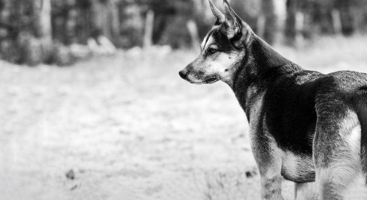 Orijen-chien