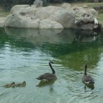 baby geese 2