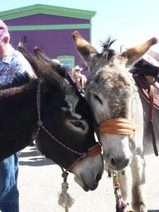 burros loving at Burro Days in Fairplay Colorado