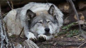 Odin relaxing at WOLF. From Wolf Sanctuary on Facebook.