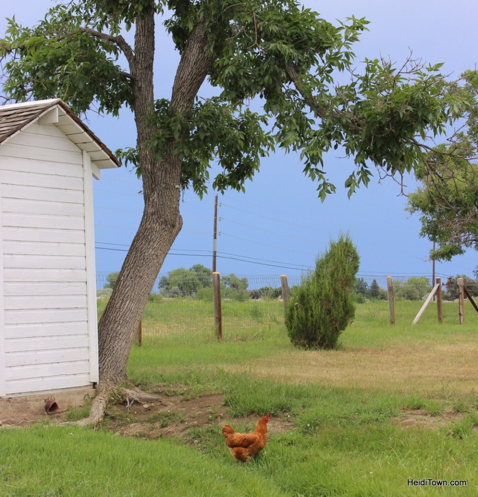 chicken at the Agricultural Heritage Center in Longmont, Colorado. HeidiTown.com