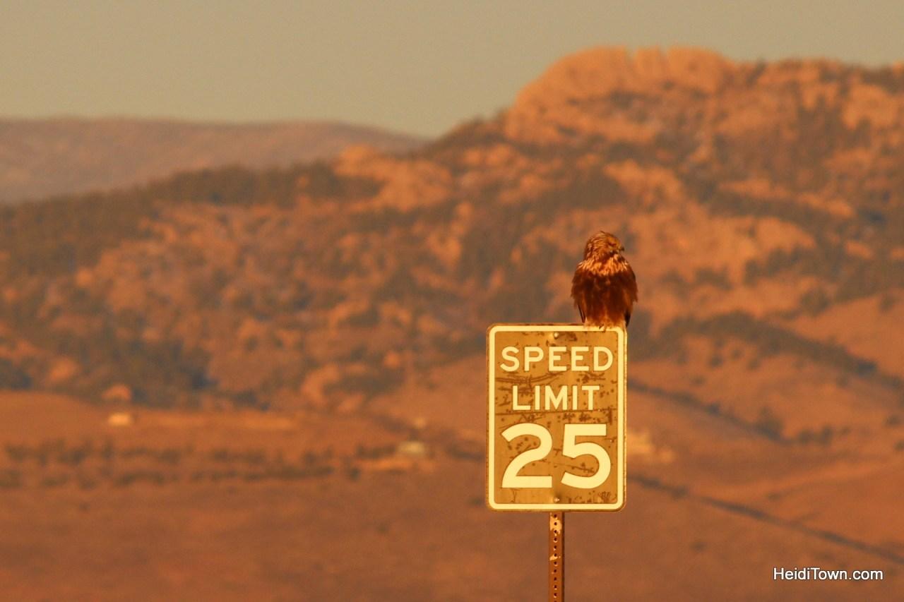 Hawk at Fossil Creek Resevoir. Birding festivals in Colorado. HeidiTown.com