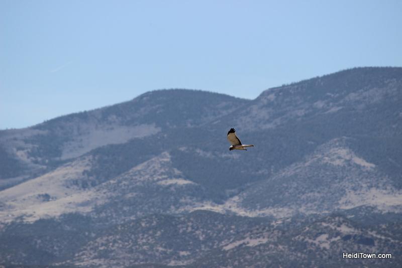 Northern Harrier near Monte Vista. Birding festivals in Colorado. HeidiTown
