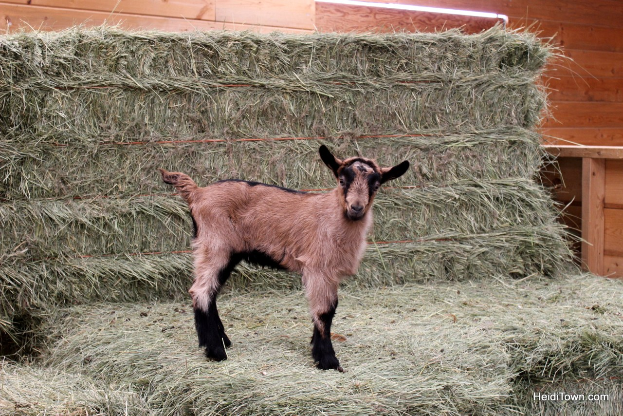 Mountain Goat Lodge. Baby Goat, spring 2015. HeidiTown.com
