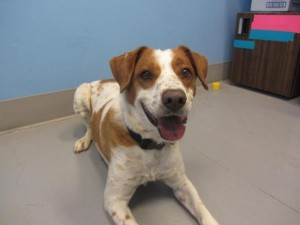 Spice the dog, available at Second Chance Humane Society. HeidiTown.com