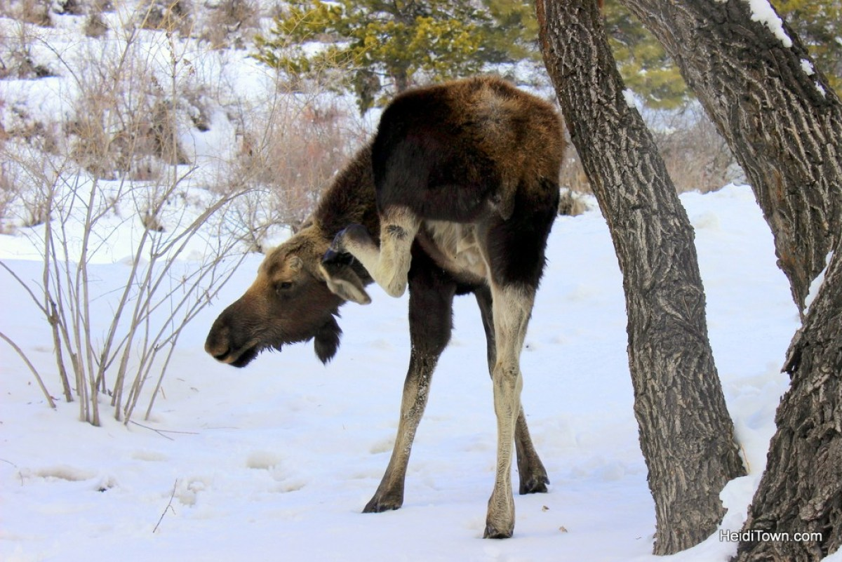 Enjoy Moose Neighbors with a Moving Mountains Vacation Home. Moose in Steamboat Springs 2. HeidiTown.com