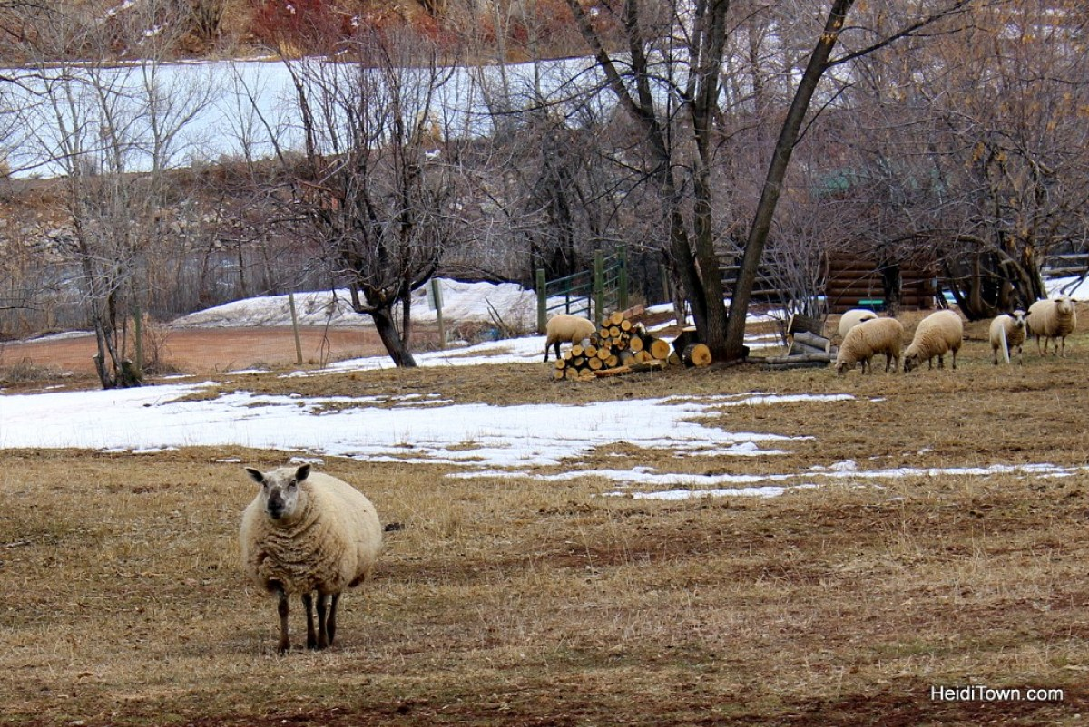 Experience the Magic of Avalanche Ranch. A sheep comes running to great me. HeidiTown.com