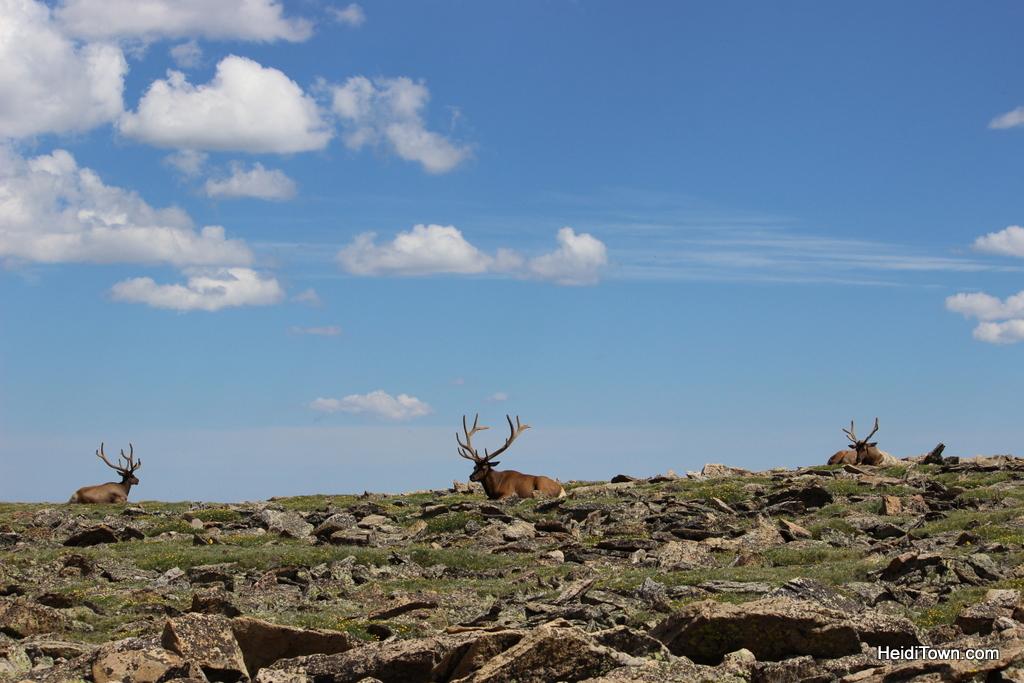 Find Your Park Colorado's National parks. elk at RMNP. HeidiTown.com