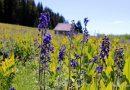 Wildflowers & wild chipmunks on Grand Mesa. HeidiTown.com (1)
