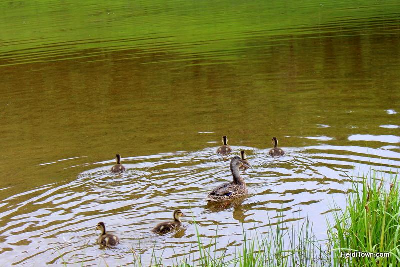 A Snow Mountain Ranch Summer to-do list. ducks on Gaylord Reservoir. HeidiTown.com