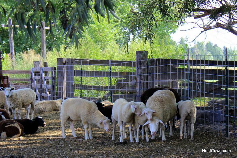 Sheep in the shade at SkyPilot Farm & Creamery. HeidiTown.com