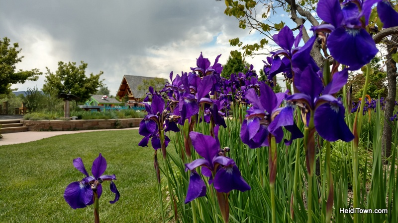 Flower Power in Fort Collins, a Visit to The Gardens on Spring Creek. Iris bloom. HeidiTown.com
