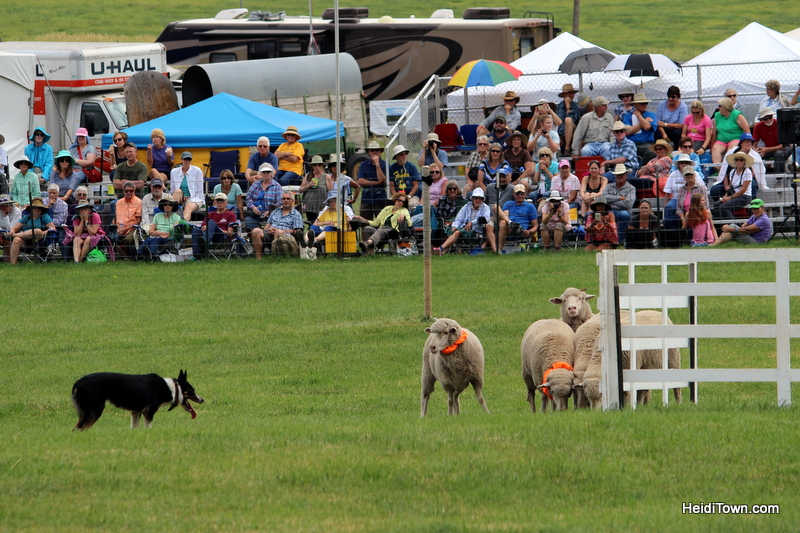 Dogs, Sheep & Meat Pies at the Meeker Sheepdog Trials (6)