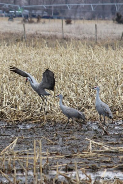 A Night with the Sandhill Cranes at the Crane Trust in Nebraska. HeidiTown (12)