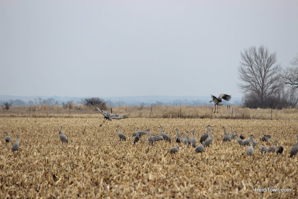 A Night with the Sandhill Cranes at the Crane Trust in Nebraska. HeidiTown (14)