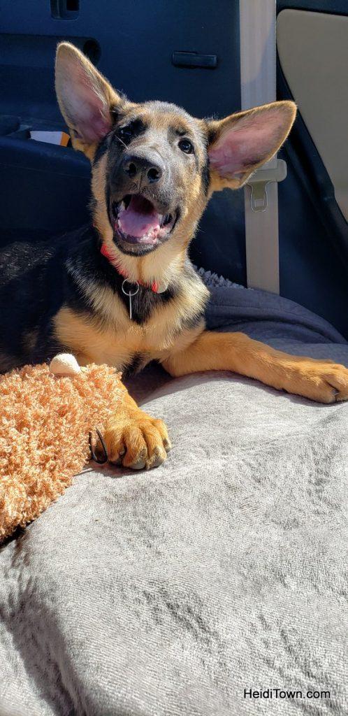 Meet Fritzi, the German Shepherd Colorado Dog & Head of Security. HeidiTown (2)