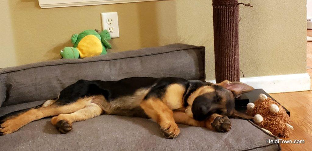 Meet Fritzi, the German Shepherd Colorado Dog & Head of Security. HeidiTown (6)