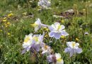The Snowy Range in Living Color Wildflowers in Wyoming. HeidiTown (16)