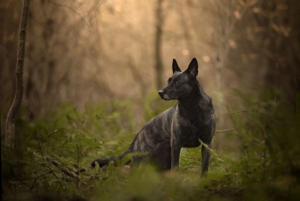 portfolio heidstra fotografie hollandse herder zwarte hond