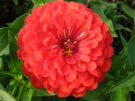 First flower bright orange zinnia grow in space without soil