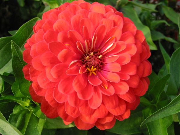 First flower bright orange zinnia grow in space without soil.