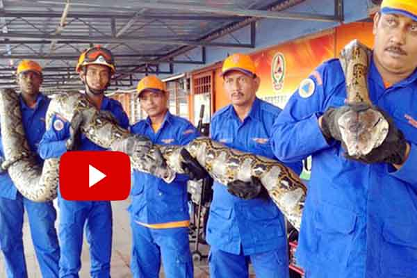 Largest snake caught beating previous record Python found in construction site.