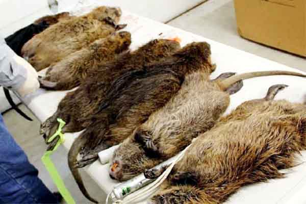 Giant cats size rats found in housing estate south London.