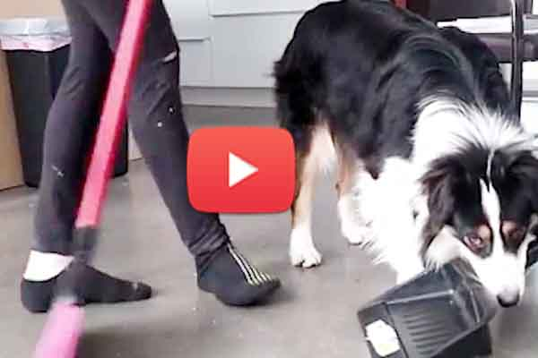 Australian shepherd dog doing house work like human laundry and even spot painting.