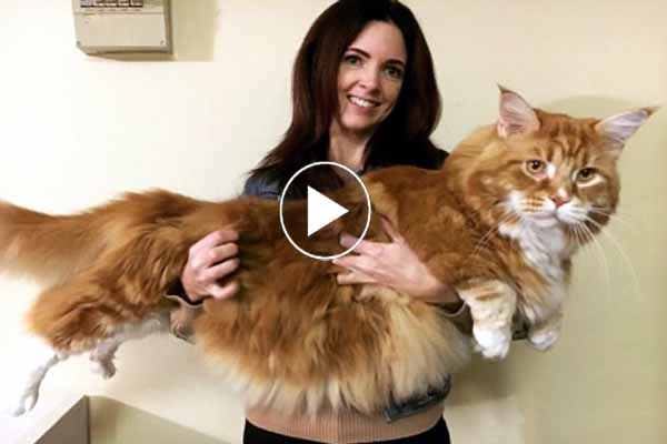 Guinness World record cat weighs 14 kilograms 3 feet 11 inches long longest cat in world.