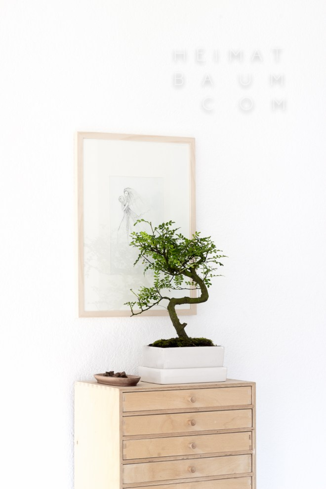 bonsai evergreen shop heimatbaum.com-4