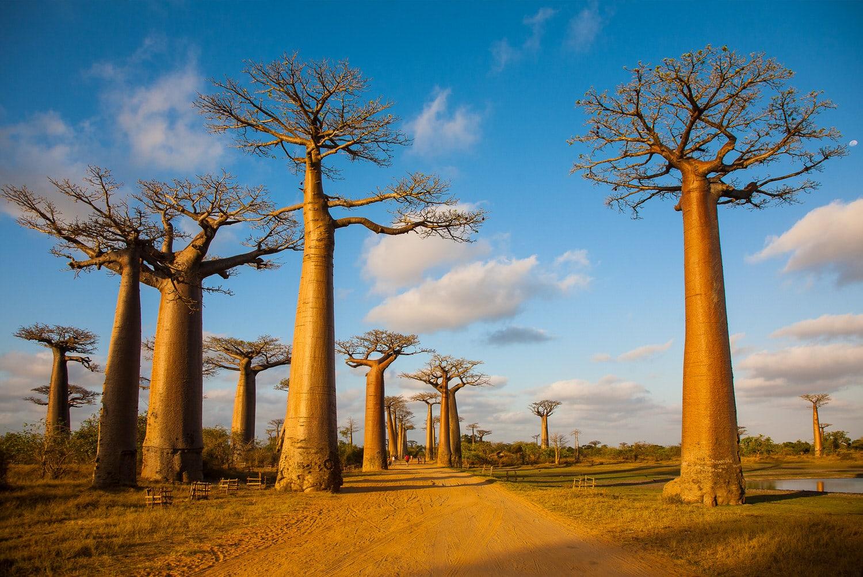 Affenbrotbaum Adansonia  Frucht umtopfen schneiden  HeimHelden