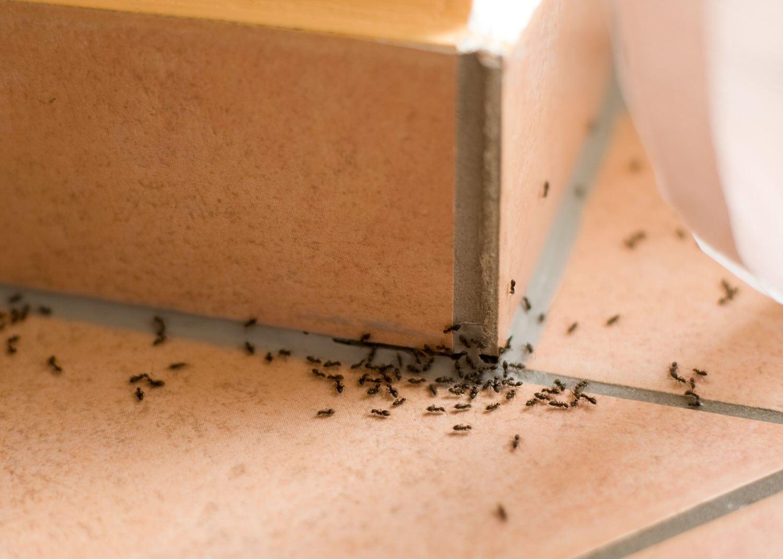 Die 7 besten Tipps gegen Ameisen im Haus  HeimHelden