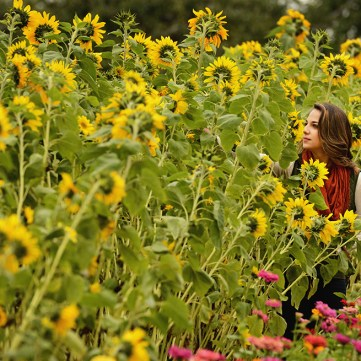 Sunflowers, by Robin Rombach, Pittsburgh Post-Gazette