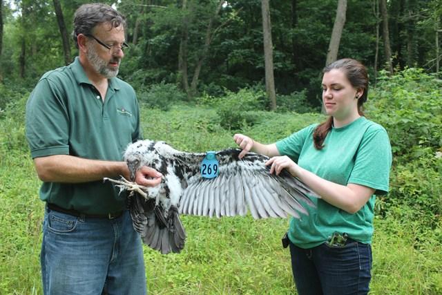Newly tagged turkey vulture chick