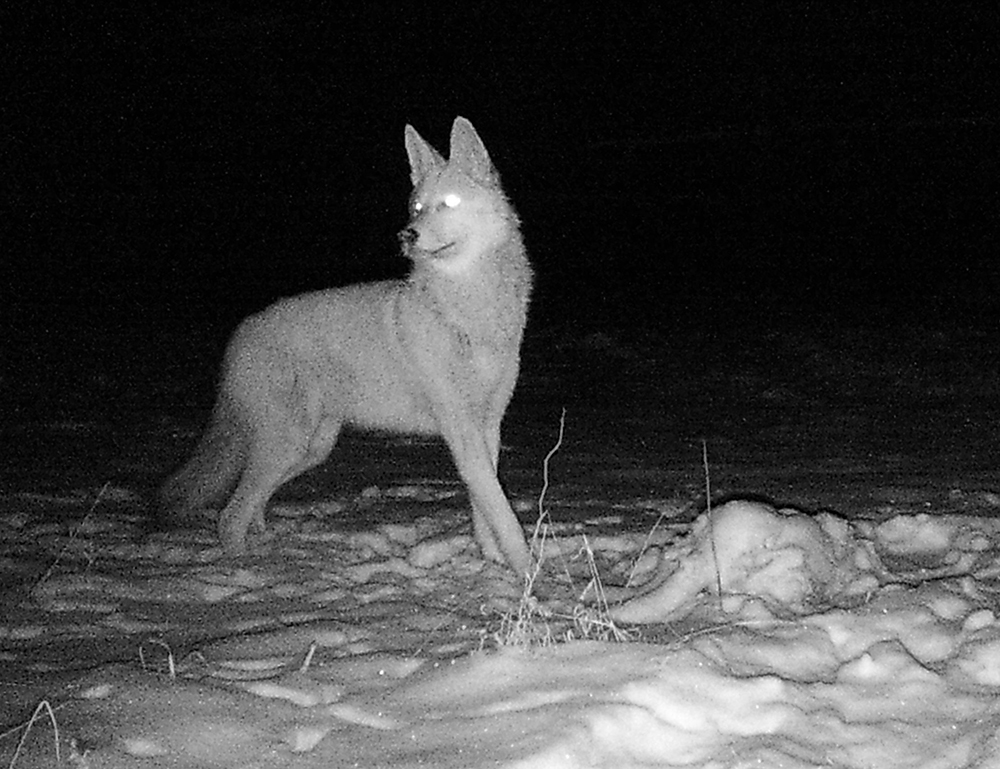 Coyote | The Search for Eagles at Meadowcroft | Discover Meadowcroft Blog