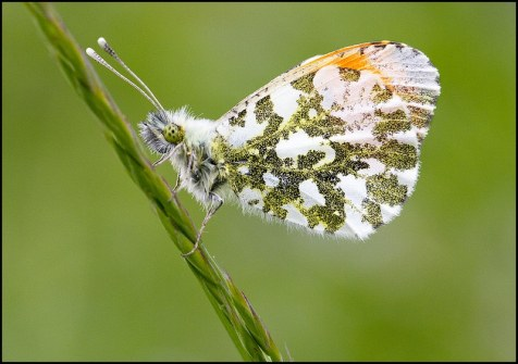 Male Orange-tip