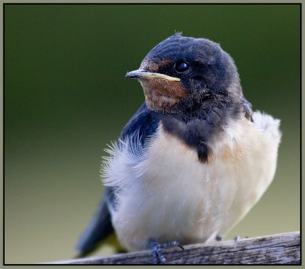 young swallow at wicken fen reserve cambridgeshire england uk